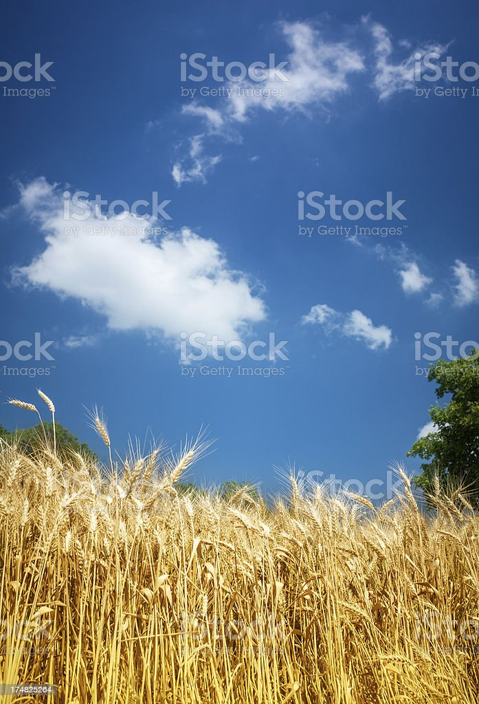 Grain Field and Deep Blue Sky royalty-free stock photo