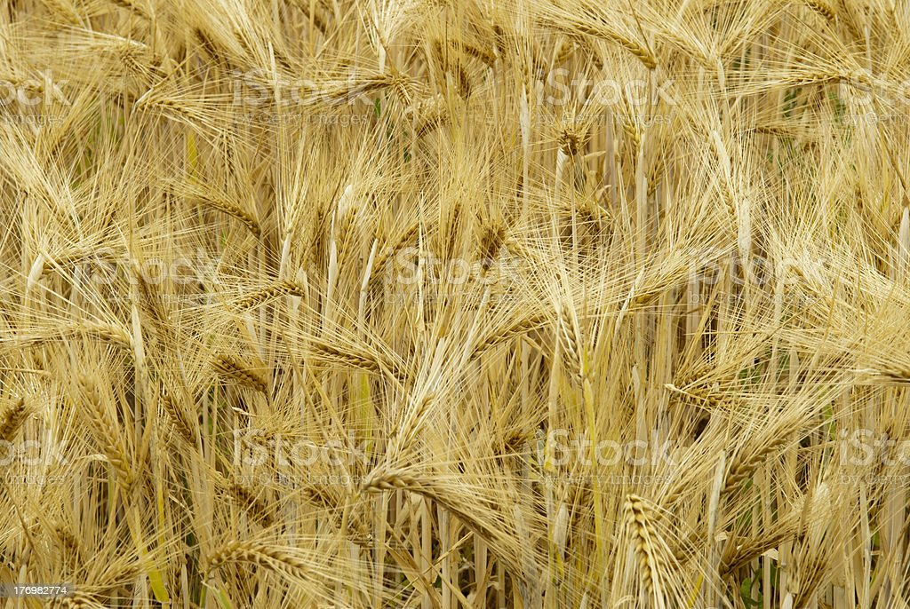 Grain Field Close Up stock photo