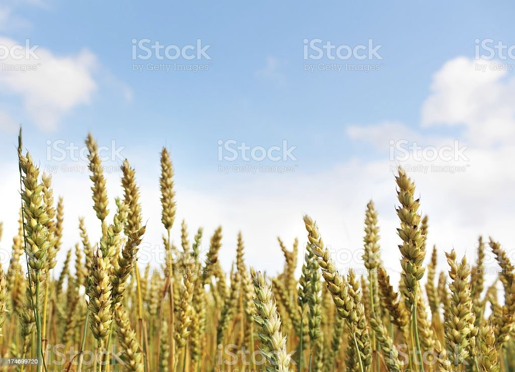 grain field macro with blue cloudy sky royalty-free stock photo