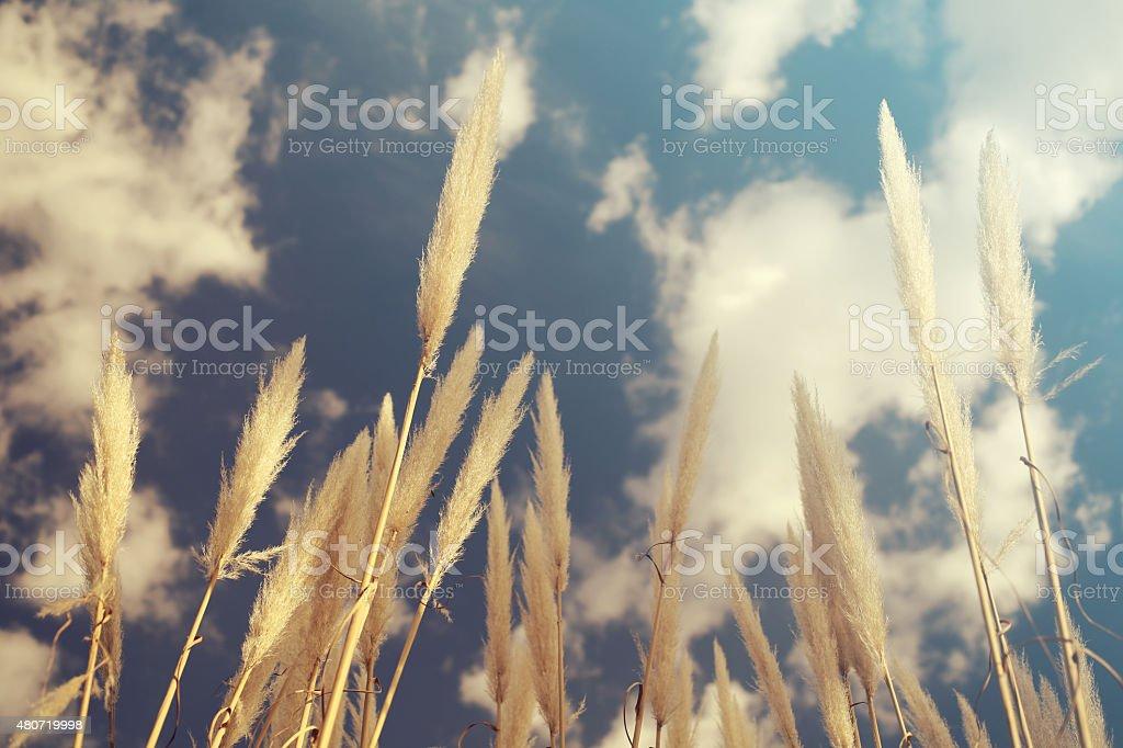 Grain field over the sky stock photo