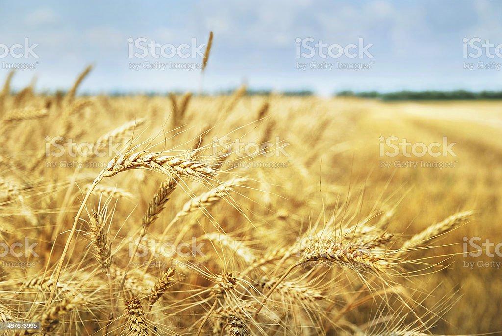 Grain field. Photo taken on 01.07.2013 stock photo