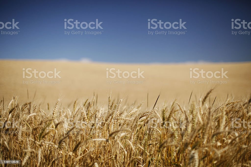 Grain Field stock photo