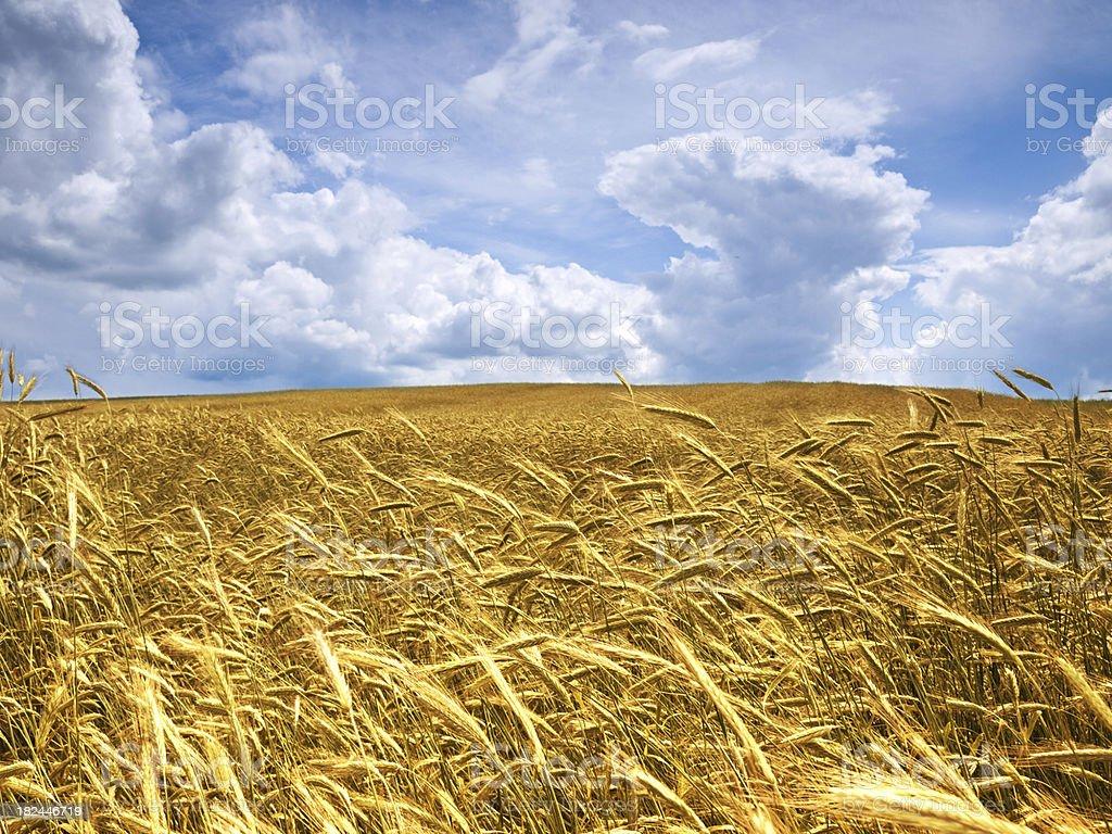 grain field royalty-free stock photo