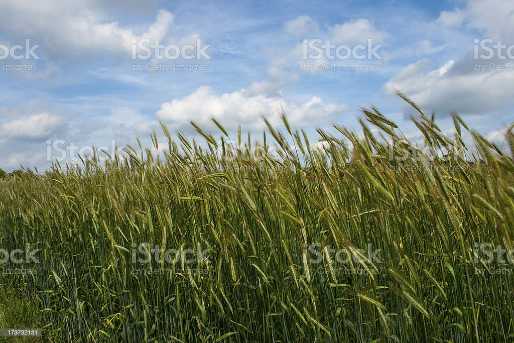 Grain field under a blue sky with clouds royalty-free stock photo