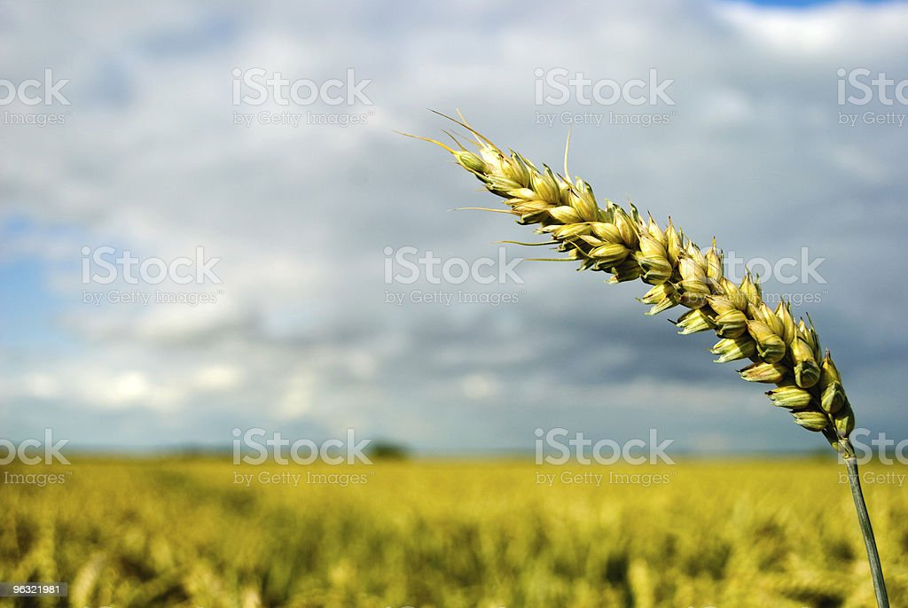 Grain field under dramatic sky. royalty-free stock photo
