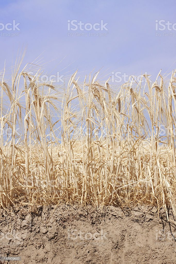 Grain Field with Sky and Dirt royalty-free stock photo