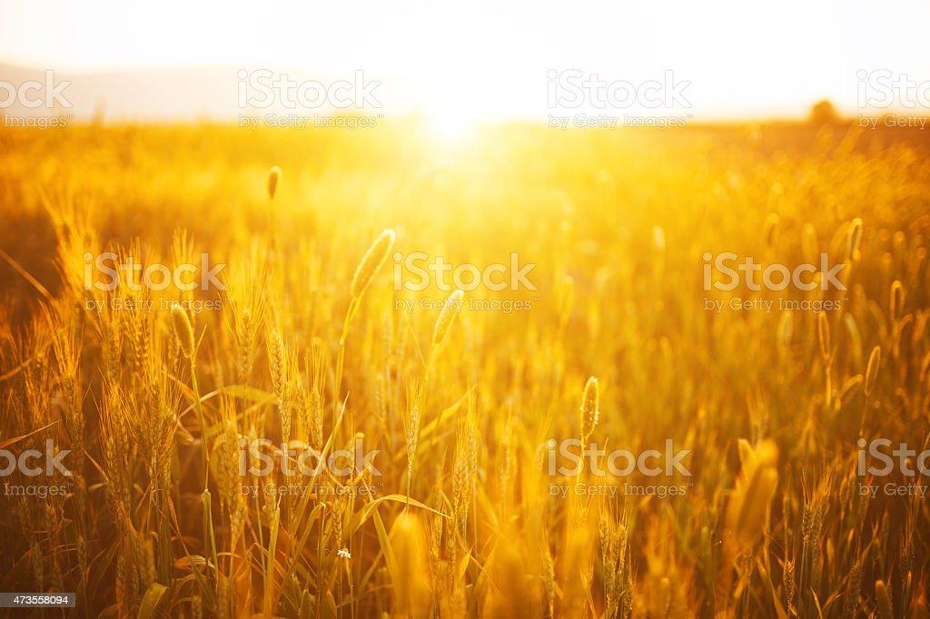 Grain field with sunlight flare stock photo