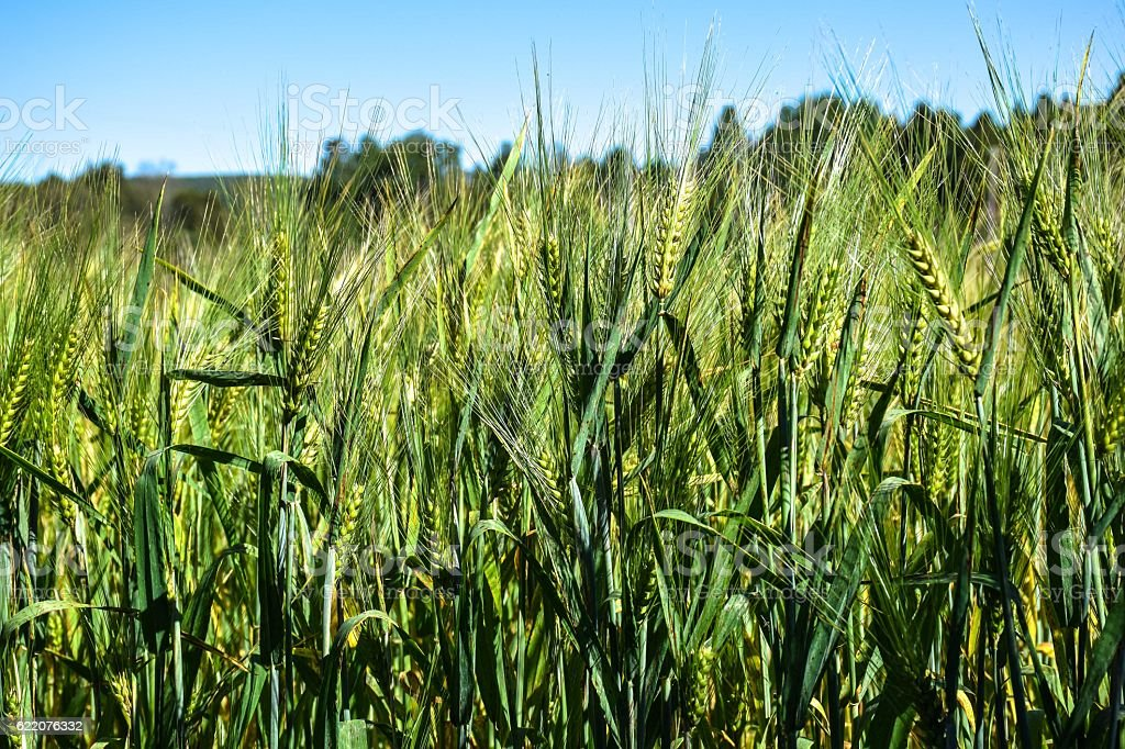 Grain fields in the middle of summer in Quebec, Canada royalty-free stock photo