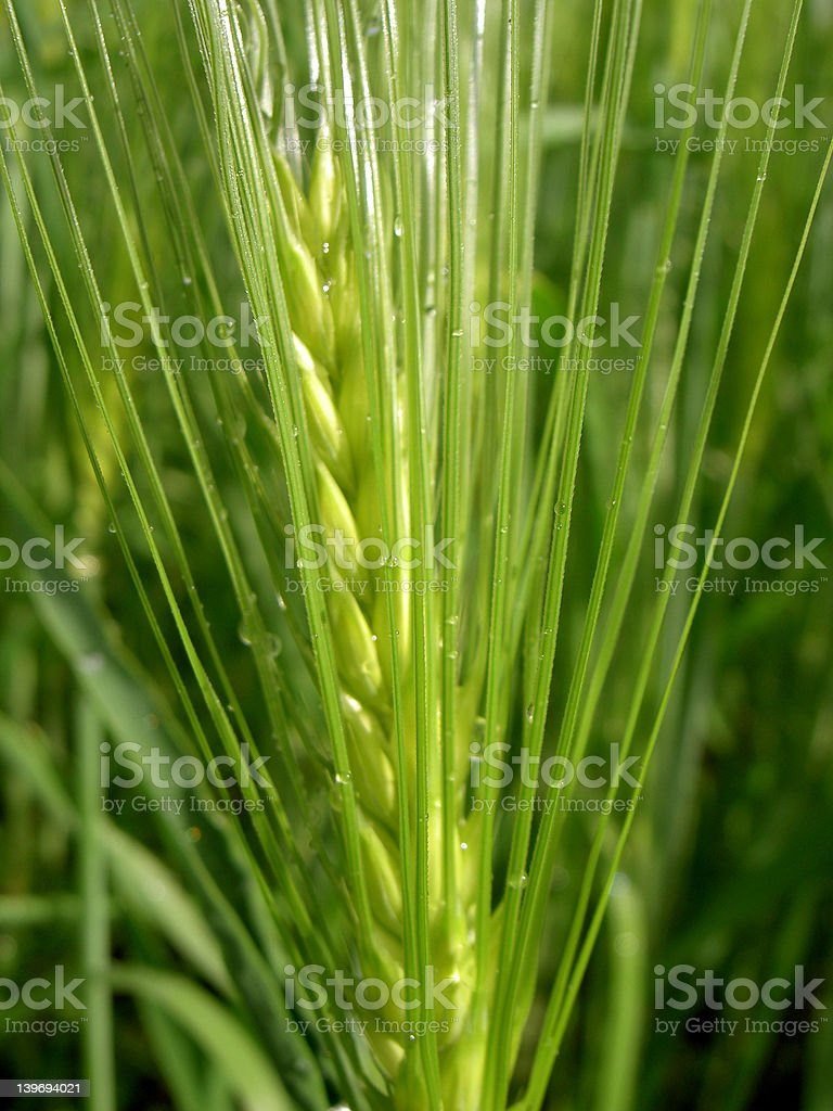 grain for bread stock photo
