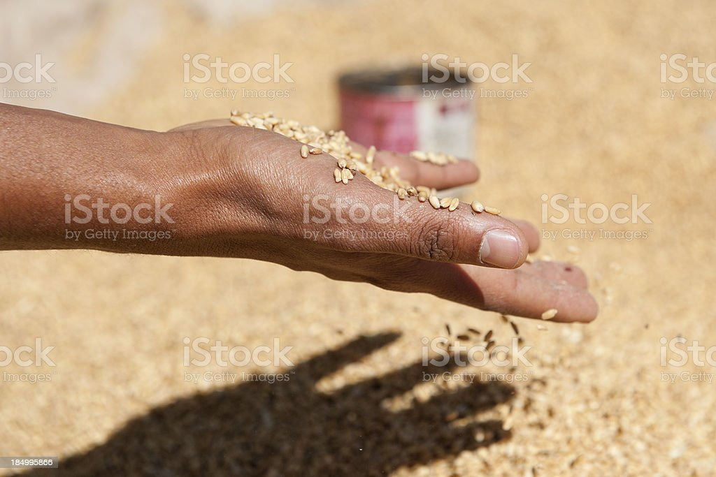 grain in the hands of an Ethiopian man royalty-free stock photo