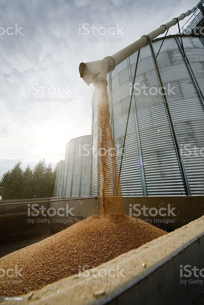 Grain loading in to the truck. stock photo