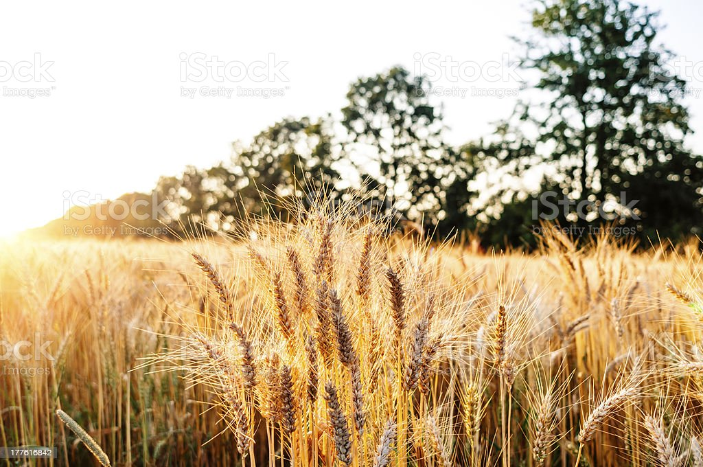 Grainfield at sunset royalty-free stock photo