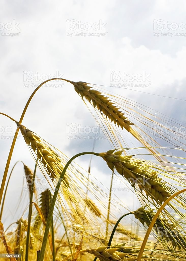 Grainfield macro with cloudy sky royalty-free stock photo