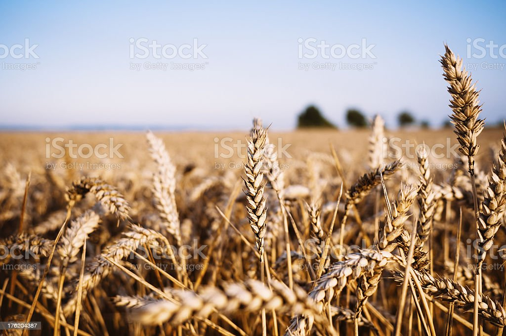Grainfield with blue defocused sky royalty-free stock photo