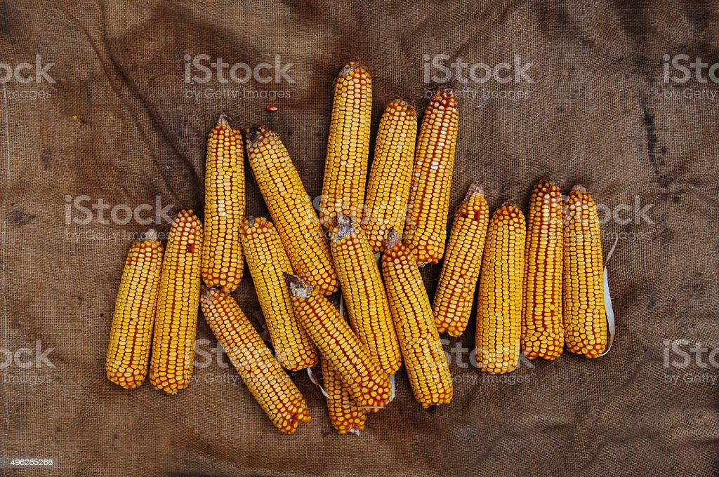 Grains of ripe corn royalty-free stock photo