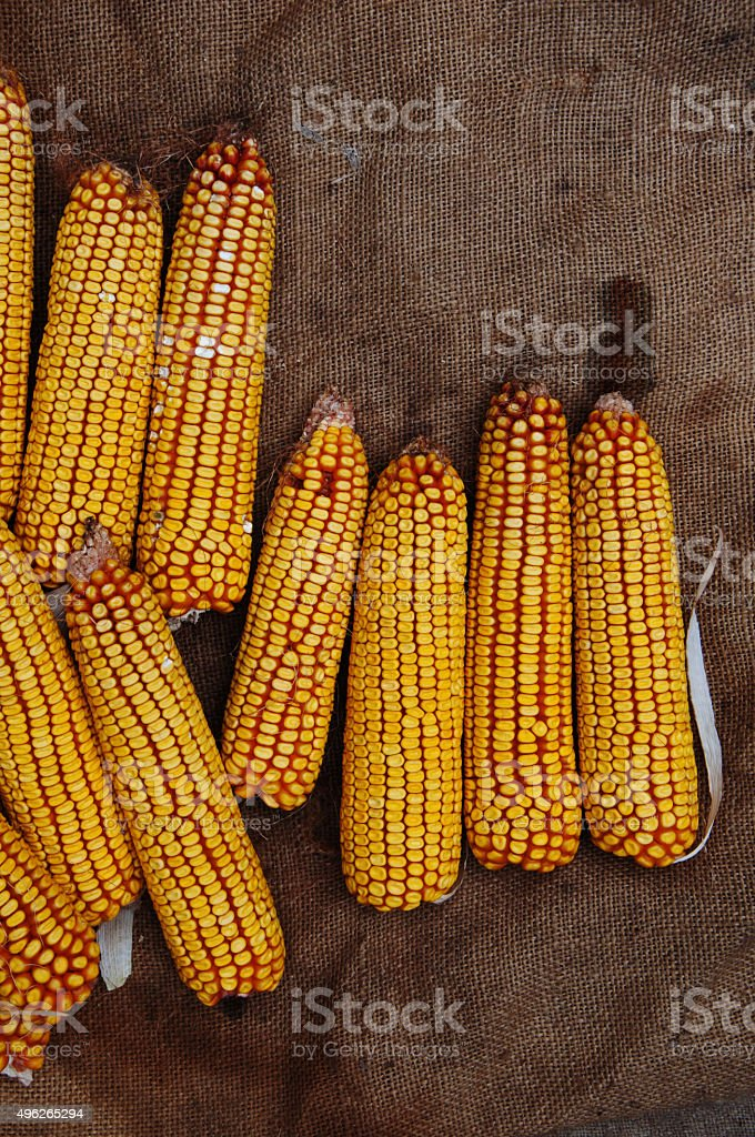 Grains of ripe corn royalty-free stock photo
