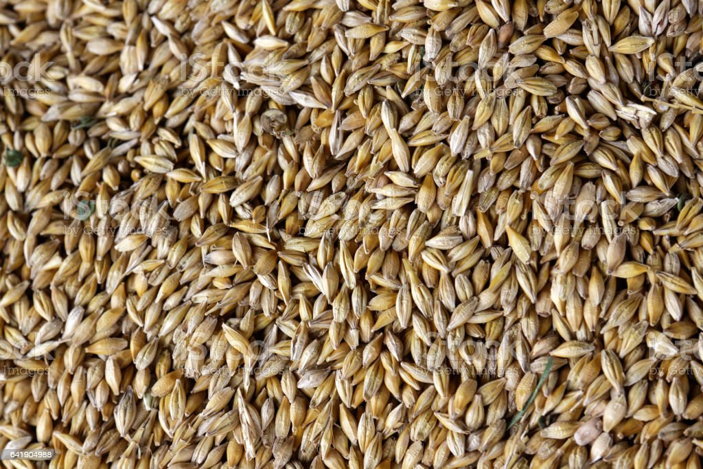 Grains of wheat in closeup view agriculture texture image stock photo