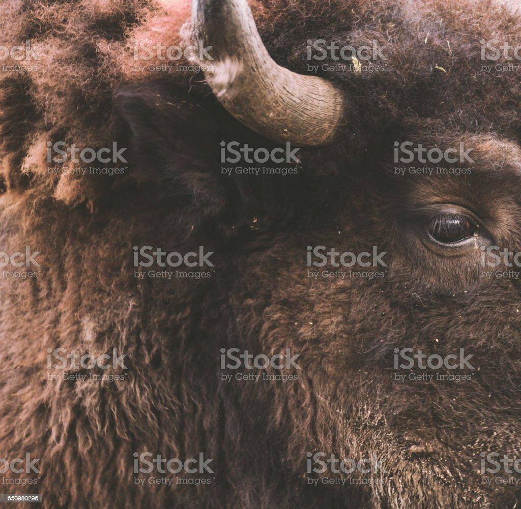 Grand beast Buffalo with amazing wool fur wallpaper. stock photo