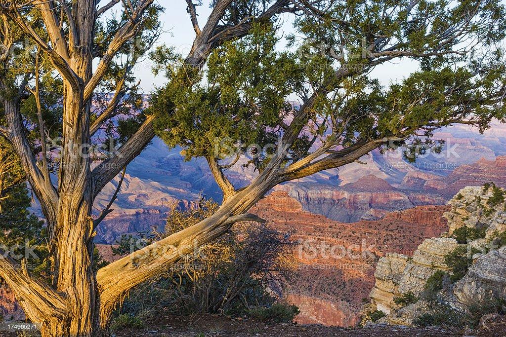 Grand Canyon and Juniper royalty-free stock photo