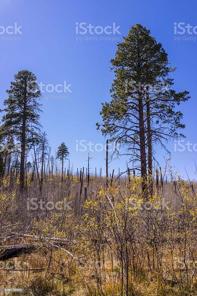 Grand Canyon: forest after a fire with survived Ponderosa Pines stock photo
