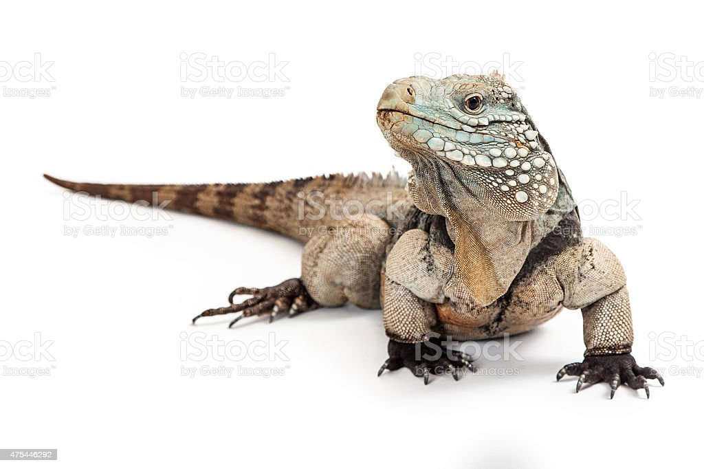 Grand Cayman Blue Iguana Looking to Side stock photo
