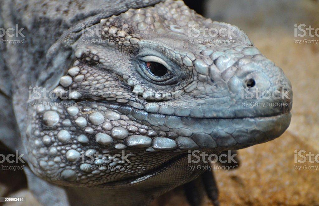 Grand Cayman Blue Iguana (Cyclura lewisi) stock photo