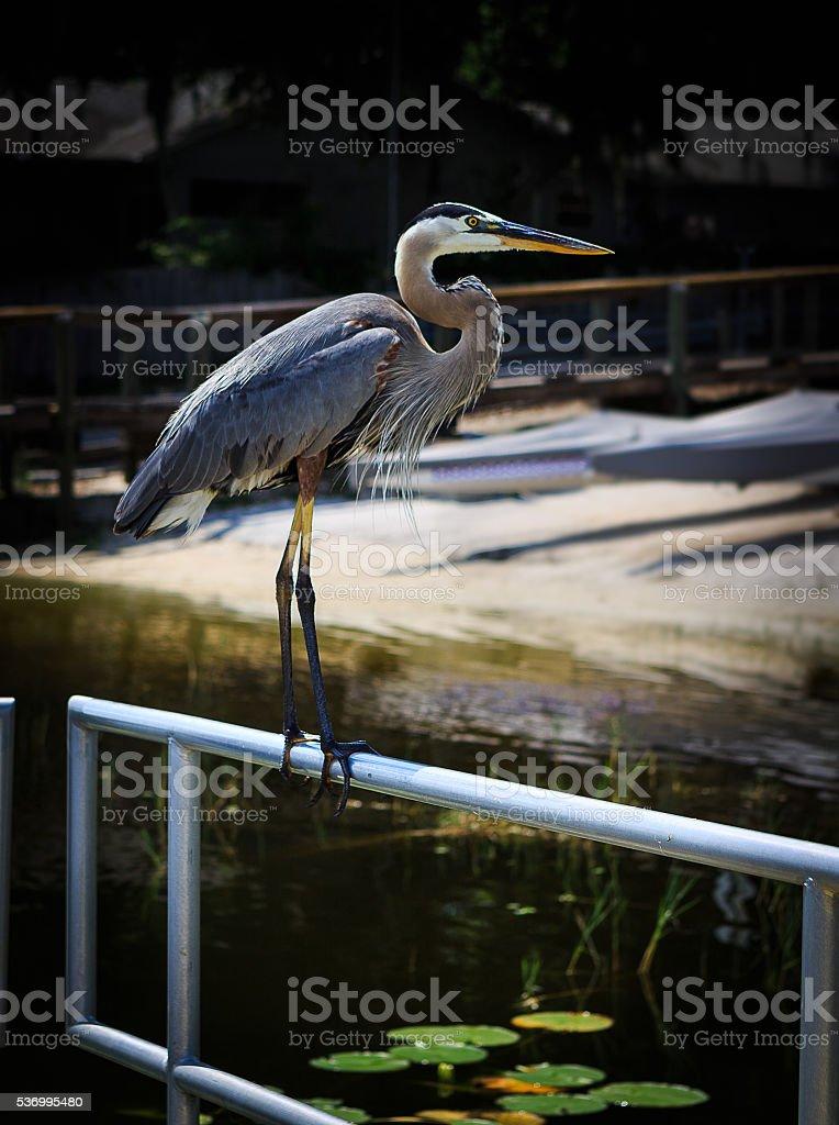Grand Heron in flight over Florida lake stock photo