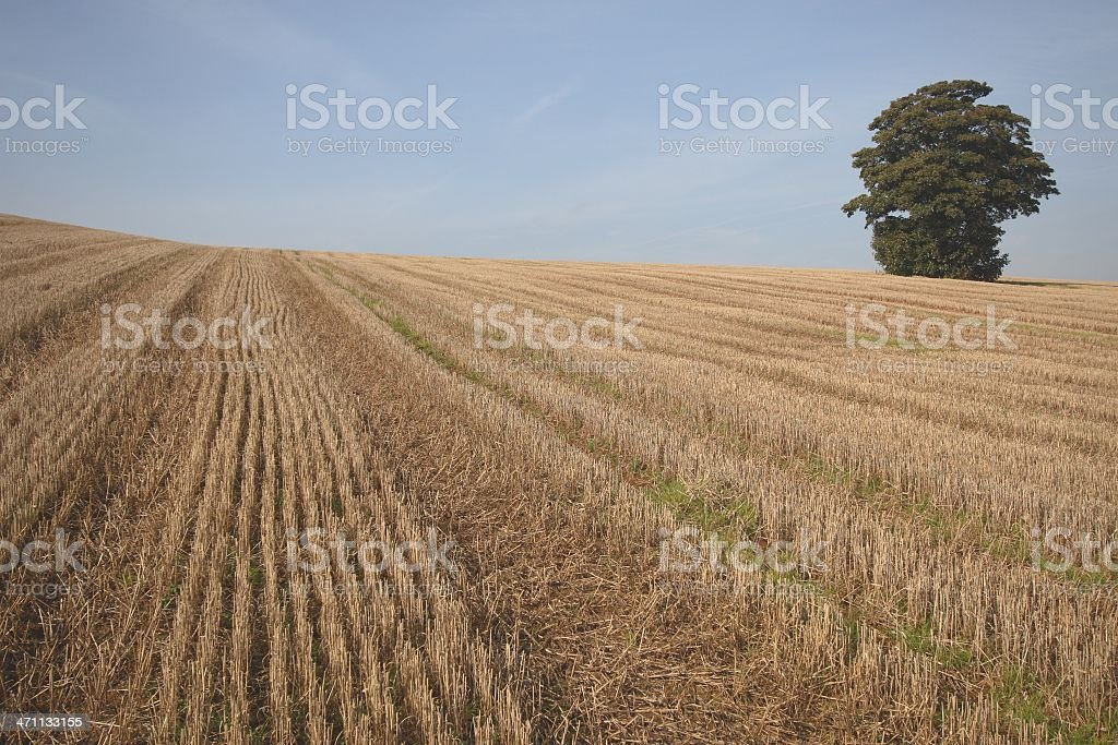Grand Oak in harvested field royalty-free stock photo