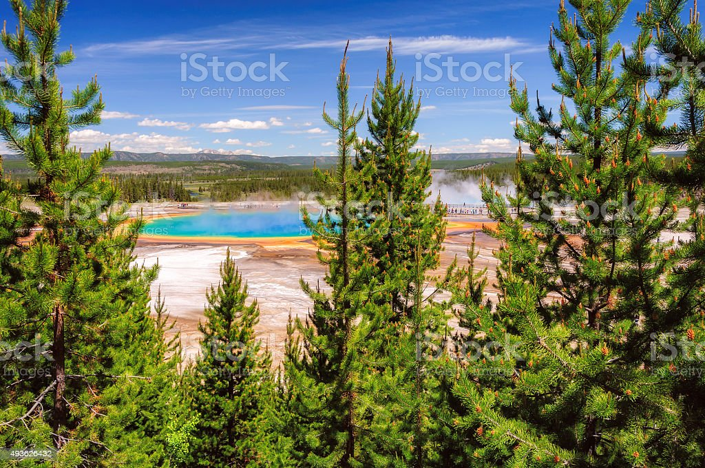 Grand Prismatic Spring view through green fir-trees in Yellowstone stock photo