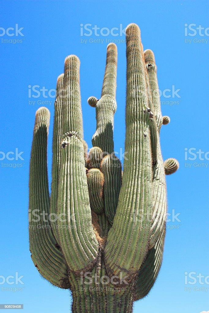 Grand Saguaro stock photo