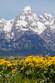 Grand Teton and Arrowleaf