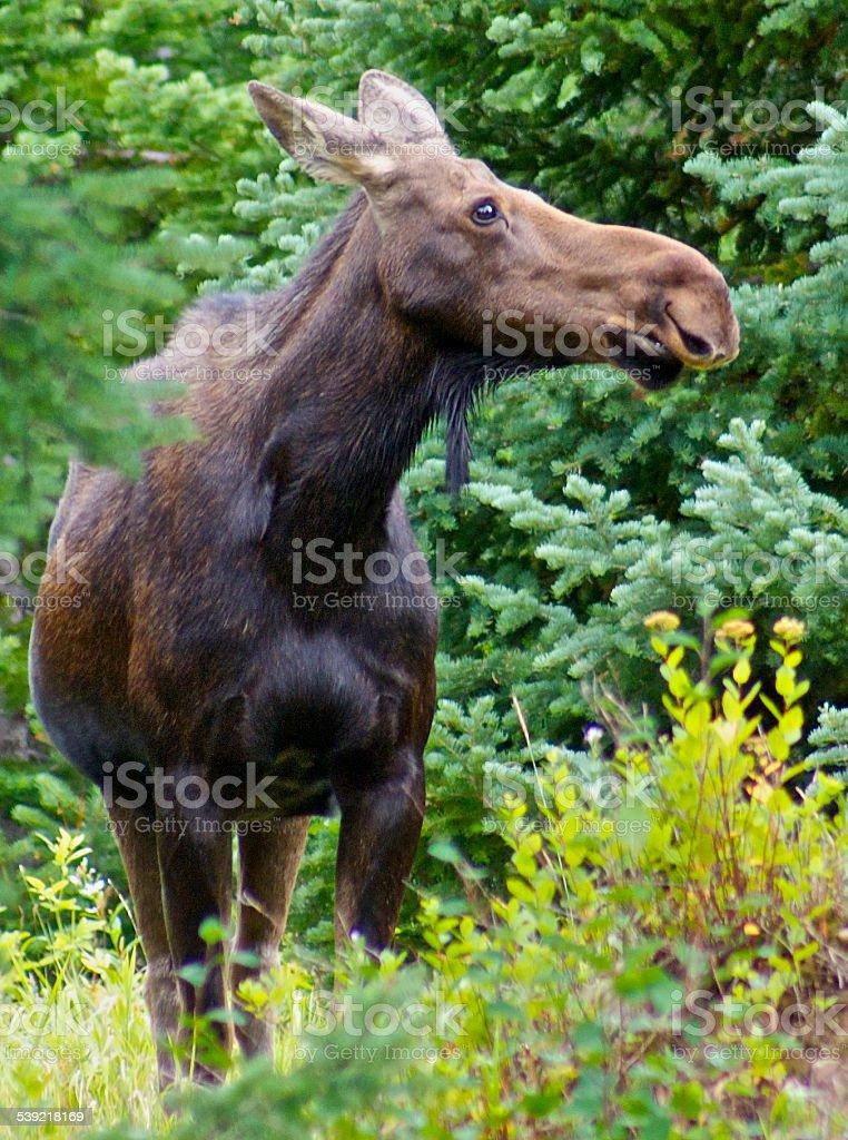 Grand Teton Wild Horse stock photo