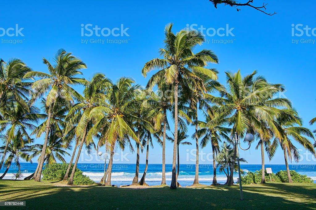 Grande Anse palm trees on morning - Reunion Island stock photo
