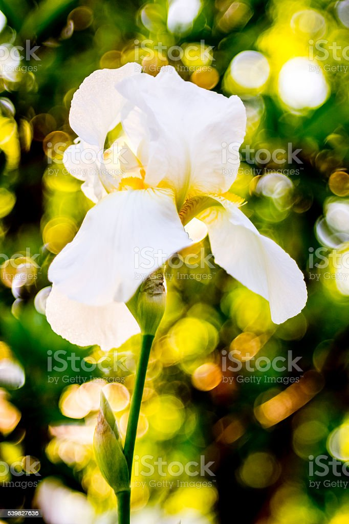 Grande Iris Blanche stock photo