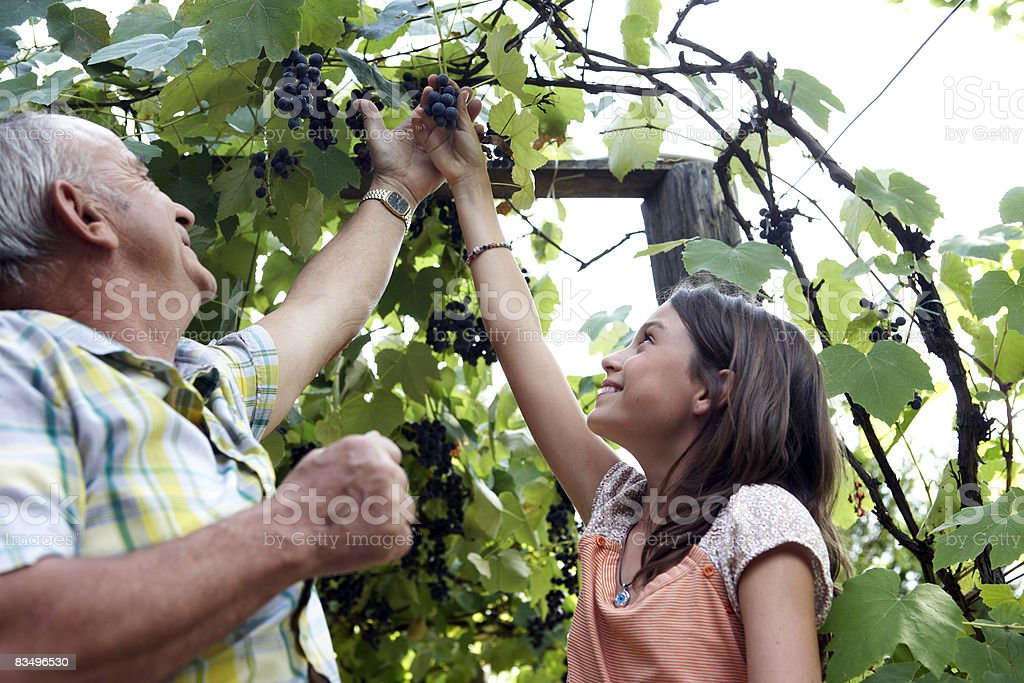grandfather and granddaughter picking grapes stock photo
