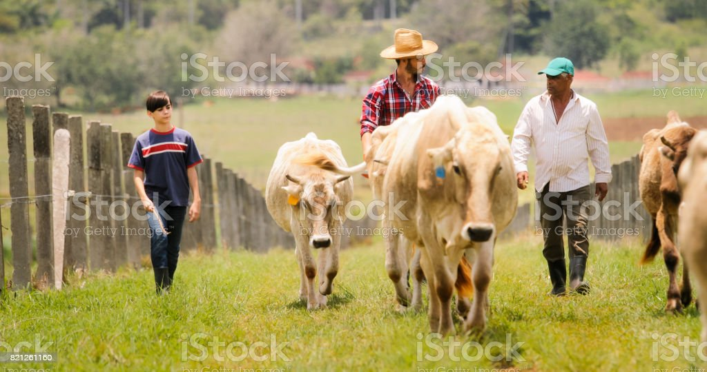 Grandfather Father Child Pasturing Cows In Family Ranch stock photo