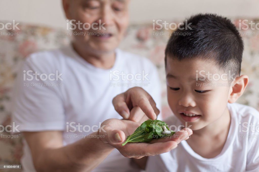 Grandfather introducing grandson to silkworm stock photo