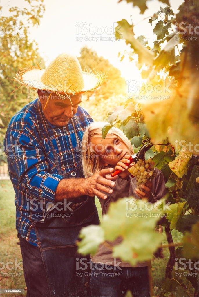 Grandfather teaching harvesting to grandson stock photo