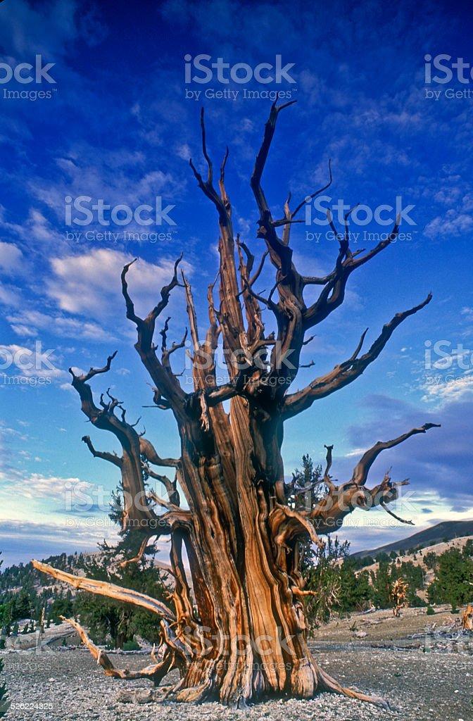 Grandfather Tree stock photo