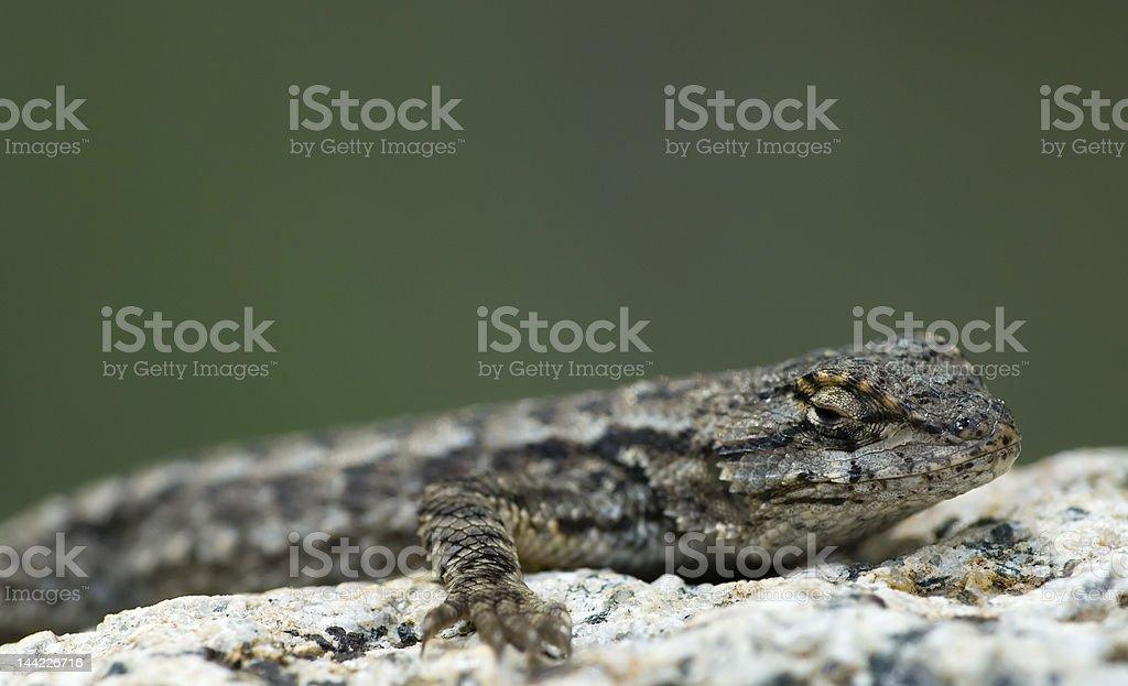 Granite Lizard stock photo