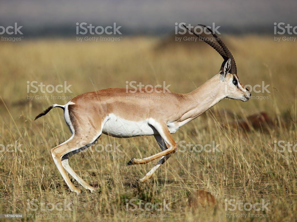 A grant gazelle in its natural habitat stock photo