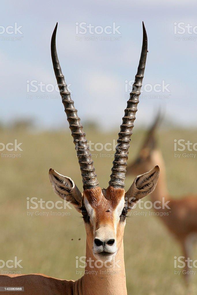 Grant Gazelle stock photo