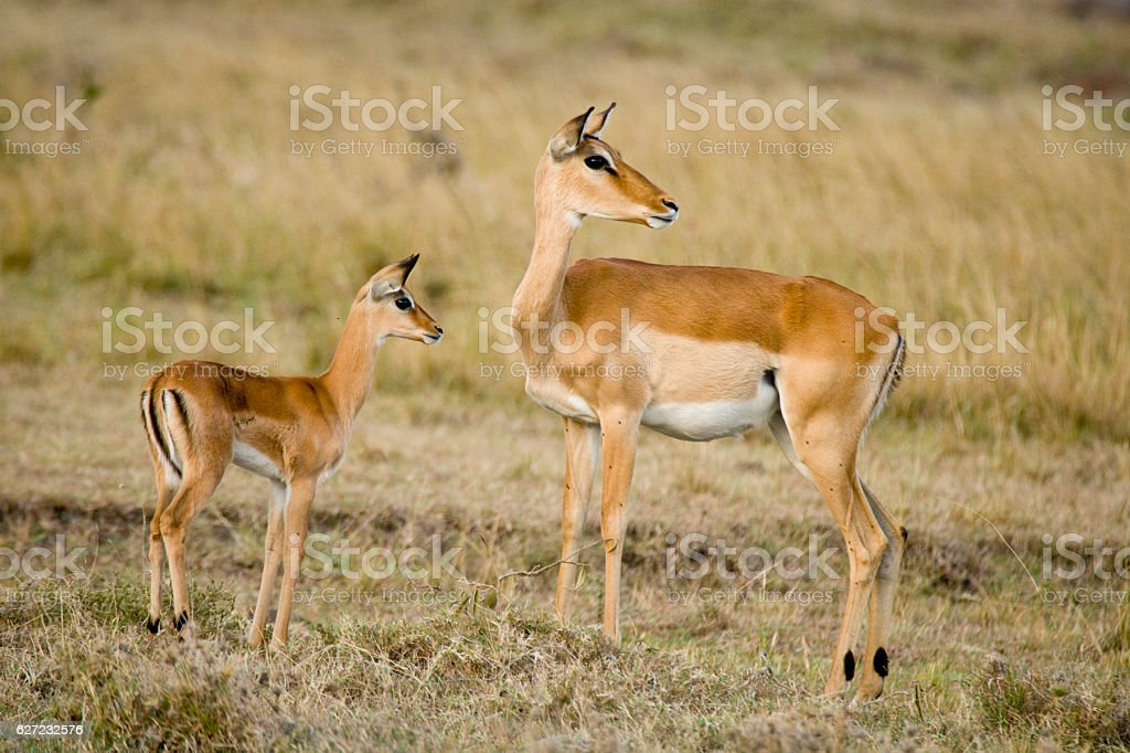 Grant's Gazelle stock photo