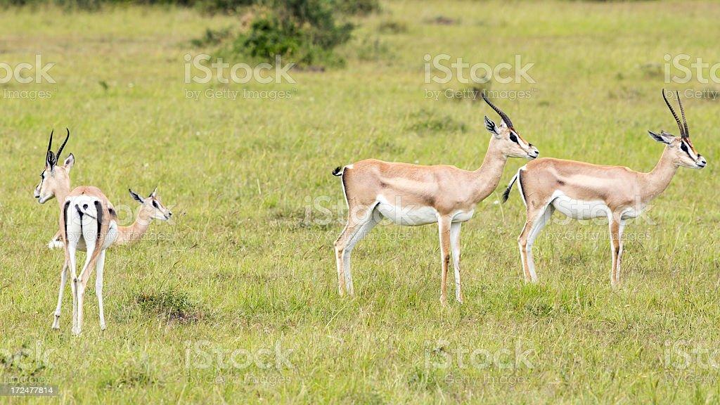 Grant's Gazelles royalty-free stock photo