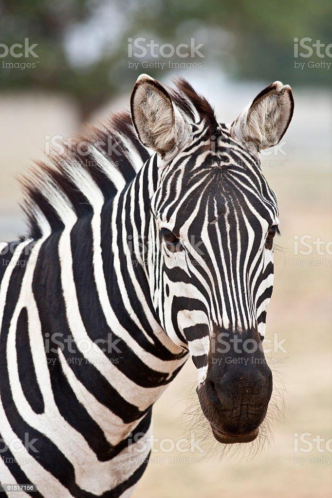 Grant's Zebra look. stock photo