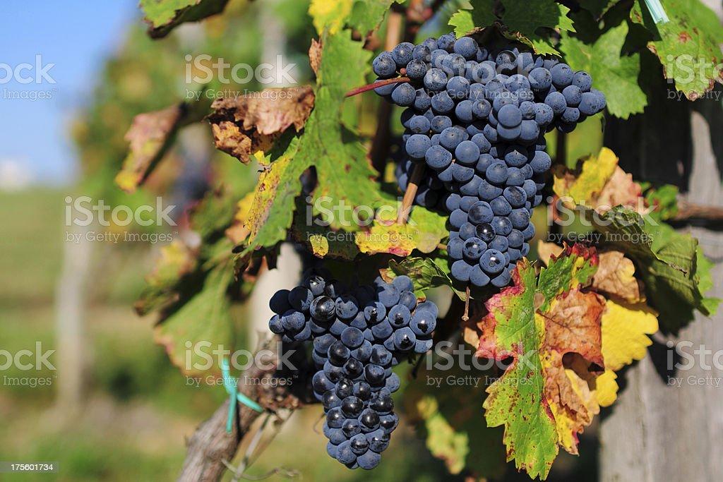 Grape and Vineyard - XLarge stock photo