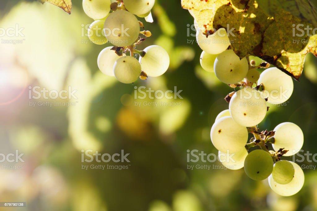 Grape branch close-up photo stock photo