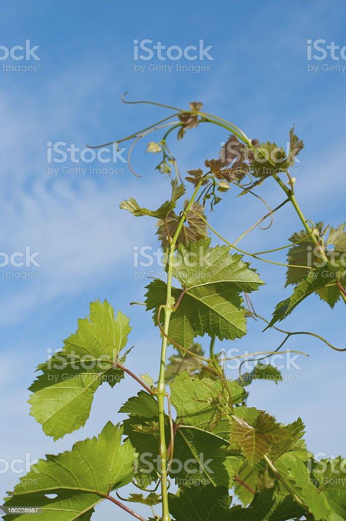 Grape branch royalty-free stock photo
