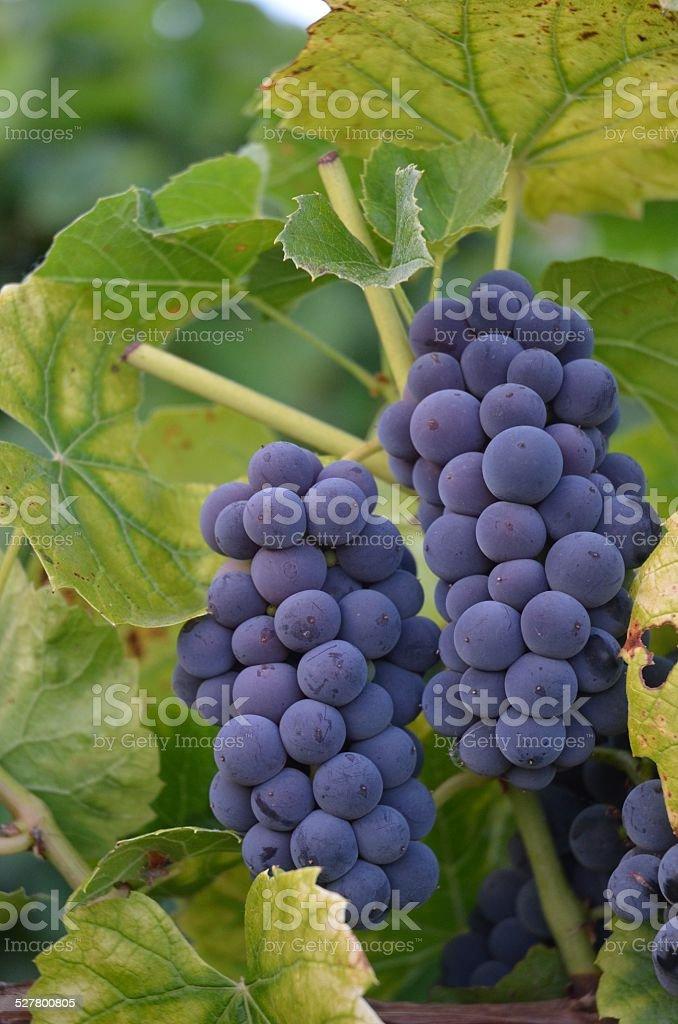 Grape Bunch royalty-free stock photo