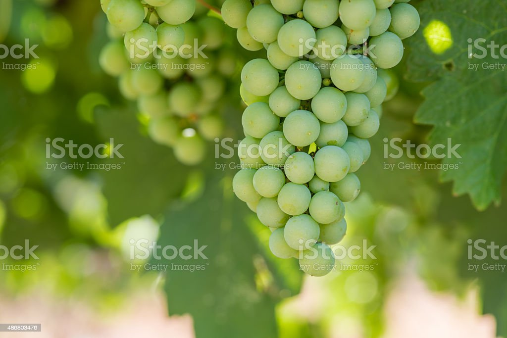 Grape Bunches at Winery stock photo